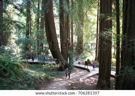 Red Woods in Muir Woods  #706281397