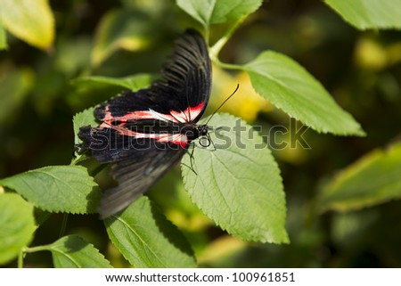 Red, yellow and black butterfly on green leaves