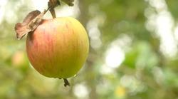 Red yellow apple is hanging on tree branch, copyspace.Garden healthy ripe fruit.