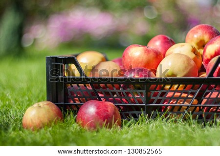 Red yellow apples in a plastic crate on the green grass