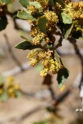 Red yellow axillary indeterminate staminate catkin inflorescences of Desert Scrub Oak, Quercus Cornelius-Mulleri, Fagaceae, native in Joshua Tree National Park, Southern Mojave Desert, Springtime.
