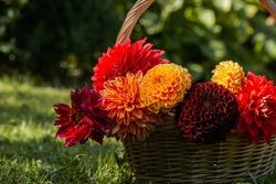 Red, yellow dahlia in basket ,summer garden