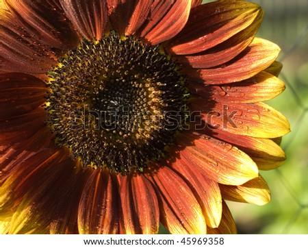 red yellow flower sunflower Helianthus annuus Royal Velvet colored variety