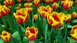 Red yellow tulips against green foliage background. Yellow red tulips. Darwin hybrid tulips. Bicolor tulips. Red and yellow tulip field.