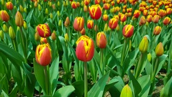 Red yellow tulips against green foliage. Red and yellow darwin hybrid tulips.