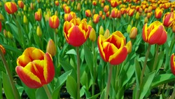 Red yellow tulips against green foliage. Red and yellow Darwin hybrid tulips. Red yellow Darwin hybrid tulip. Red and yellow tulips. Bicolor tulip field. Hybrid tulip fields. Colorful tulips.