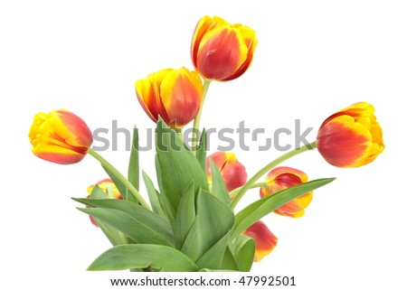 Red-yellow tulips isolated on white