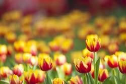 Red Yellow tulips with beautiful bouquet background.