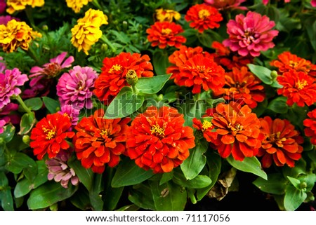 Red Zinnia flower floral - stock photo