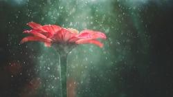 Red zinnia flower in summer rain & sunlight banner on green background. Red Zinnia flower in foggy garden in sunlight and rain water. Red flower with waterdrops, sun light, fog as fairytale background