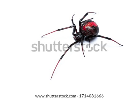 Redback Spider isolated on a white background, Australian Black Widow, closeup macro detail of deadly venomous spider. Сток-фото ©