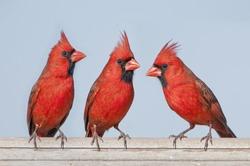Redbird Trio
