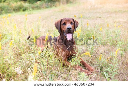 Redbone Coonhound and Rottweiler Mix Dog Enjoying Outdoors on Nice Day #463607234