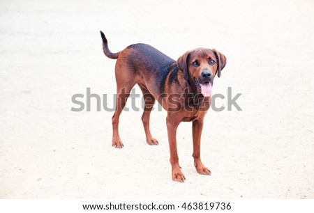 Redbone Coonhound and Rottweiler Mix Dog Enjoying Outdoors on Nice Day #463819736