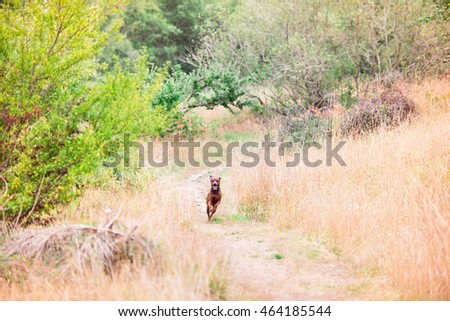 Redbone Coonhound and Rottweiler Mix Dog Enjoying Outdoors on Nice Day #464185544