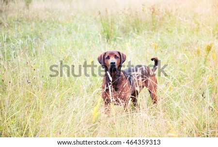 Redbone Coonhound and Rottweiler Mix Dog Enjoying Outdoors on Nice Day #464359313