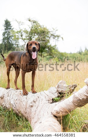 Redbone Coonhound and Rottweiler Mix Dog Enjoying Outdoors on Nice Day #464558381