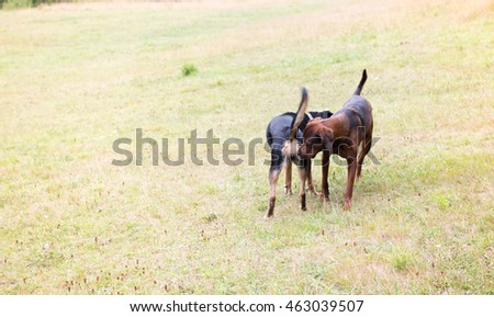 Redbone Coonhound and Rottweiler Mix Dog Meeting Another Dog in Of Leash Area #463039507