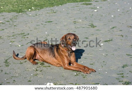 Redbone Coonhound and Rottweiler Mix Dog Relaxing on Beach After Swimming  #487901680