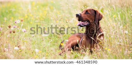 Redbone Coonhound Mix Dog Enjoying Outdoors on Nice Day #461348590
