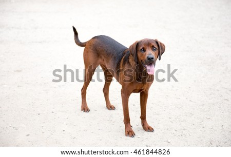Redbone Coonhound Mix Dog Enjoying Outdoors on Nice Day #461844826