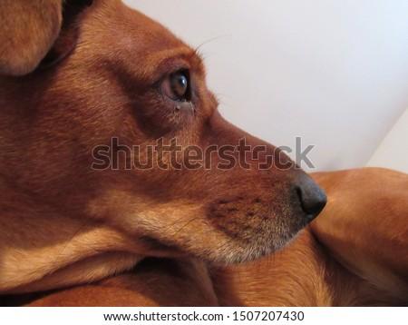 Redbone Coonhound Mix Hunting Dog  #1507207430