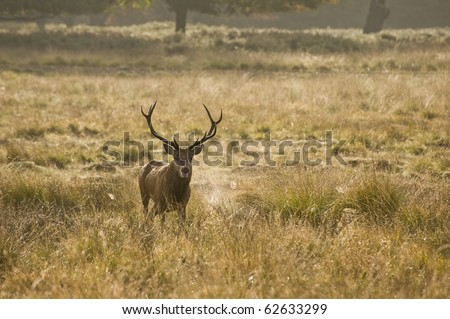 Redd deer during rut mating season during October, Autumn, Fall