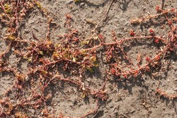 Reddened by drought and temperature changes, plant grass  Polygonum aviculare (or Bird Highlander, knotweed, grass-ant, goose grass, bird buckwheat)  grows on sand like pattern. Macro, selective focus