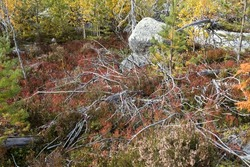 Reddening autumn thickets of blueberries and lingonberries around a stone overgrown with moss in nature reserve on mountain Vottovaara, Karelia, Russia.