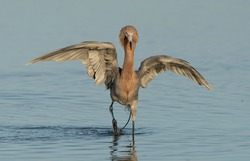 Reddish egret dancing in water