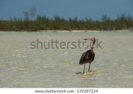 Reddish Egret, Egretta rufescens, wading in shallow water with a beach and tropical forest in the background.