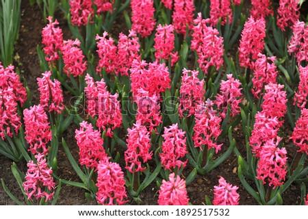 Reddish pink hyacinth (Hyacinthus orientalis) Jan Bos blooms in a garden in April Stockfoto ©