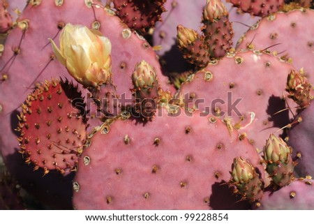 reddish-pink prickly pear cactus with yellow flower