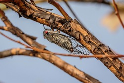 Redeye Cicada on a tree at Gigerline Nature Reserve, ACT on a spring morning in November 2020