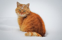 Redhead Cat in the snow, Cat with snowflakes on the head