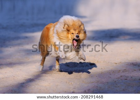 Redhead collie dog with open mouth and bared teeth rushes forward at the viewer on a neutral background
