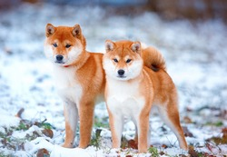 Redhead dog Japanese Shiba Inu breed with a cheerful muzzle