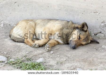 redhead dog resting