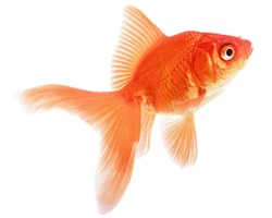 Redhead Gold Fish Isolated on White Background