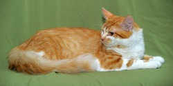 redhead with a white cat on a green background