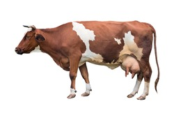 Redhead with white spots of a cow of milk breed. Isolated.