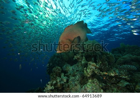 Stock Photo Redmouth Grouper hunting a shoal of Glassfish on a coral reef
