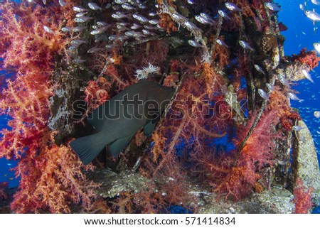 Redmouth Grouper protecting its school of Glassfish. Red soft coral.  #571414834