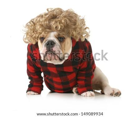 redneck dog - english bulldog humanized with blond wig and plaid jacket isolated on white background