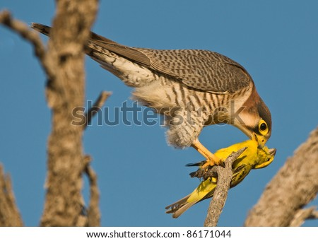 Falconiformes. sub Falconidae - sub fam Falconinae - gênero Falco Stock-photo-rednecked-falcon-feeding-on-yellow-canary-prey-86171044