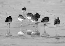 Redshanks resting at Busiateen coast, Bahrain. A highkey image