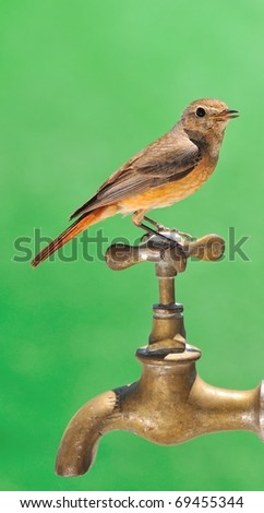 Redstart perched on a tap of a source.