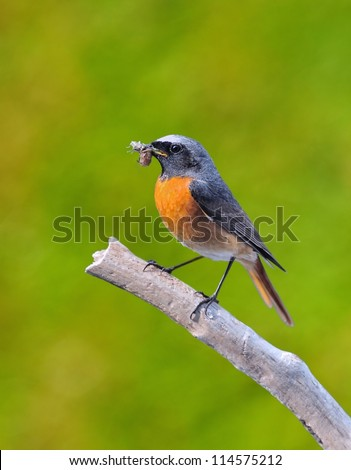 Redstart with a insect in its beak.