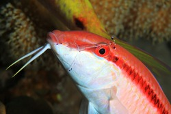 Redstriped goatfish (Parupeneus rubescens) with cleaner shrimp underwater in the coral reef