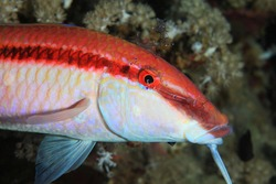 Redstriped goatfish (Parupeneus rubescens) with cleaner shrimps